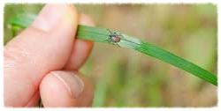 Black legged tick on grass blade.