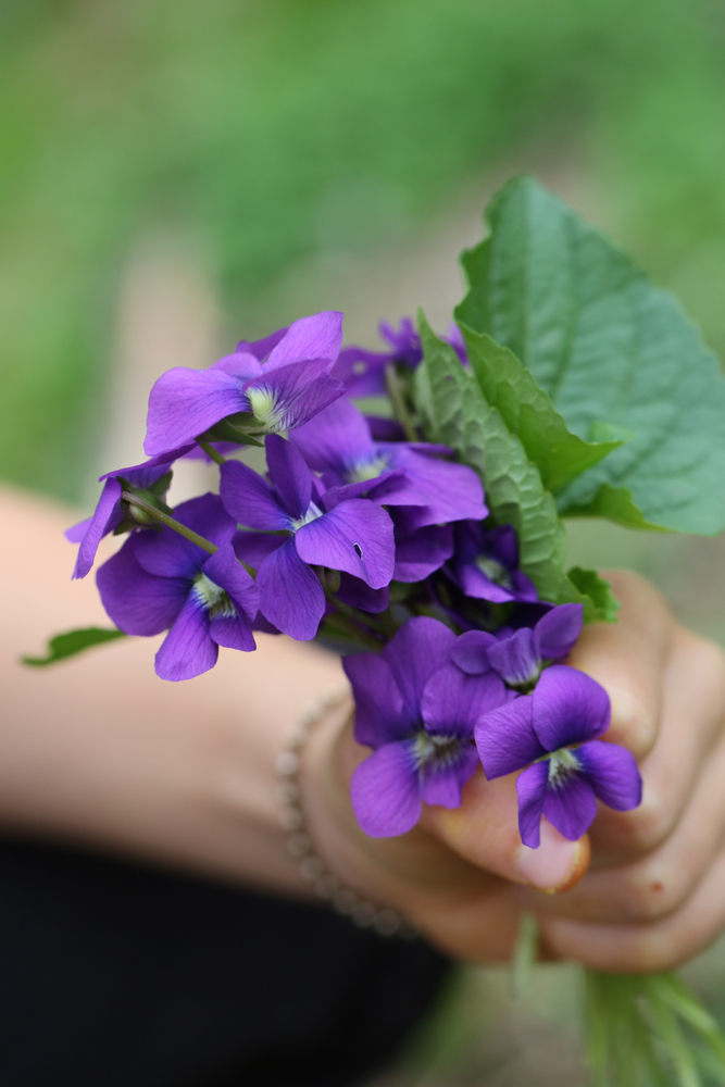 Grasped in a tiny hand; a memorable herb of childhood ~  Viola odorata.