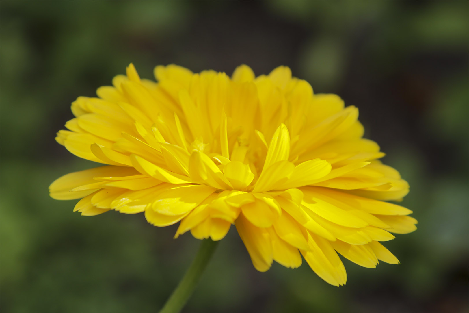 Our skin can benefit immensely from the healing action of calendula.