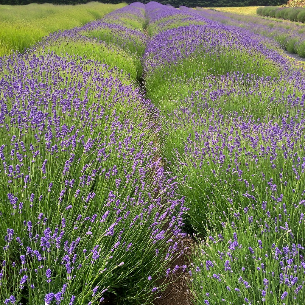 A field of lavender to aromatically transport ourselves into relaxation.