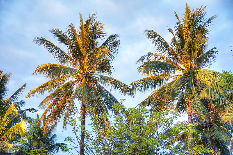 "Coconut tree Gili Trawangan / Meno ""les villas Ottalia"""