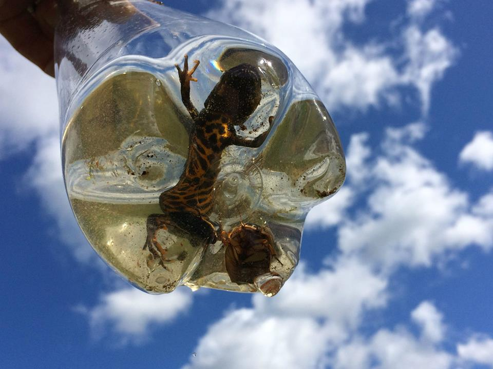 Photo : Great Crested Newt (and a Great Diving Beetle  Dytiscus marginalis)  within a bottle trap, caught in Wales
