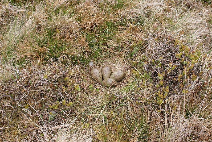 Photo : Curlew nest within Ffridd