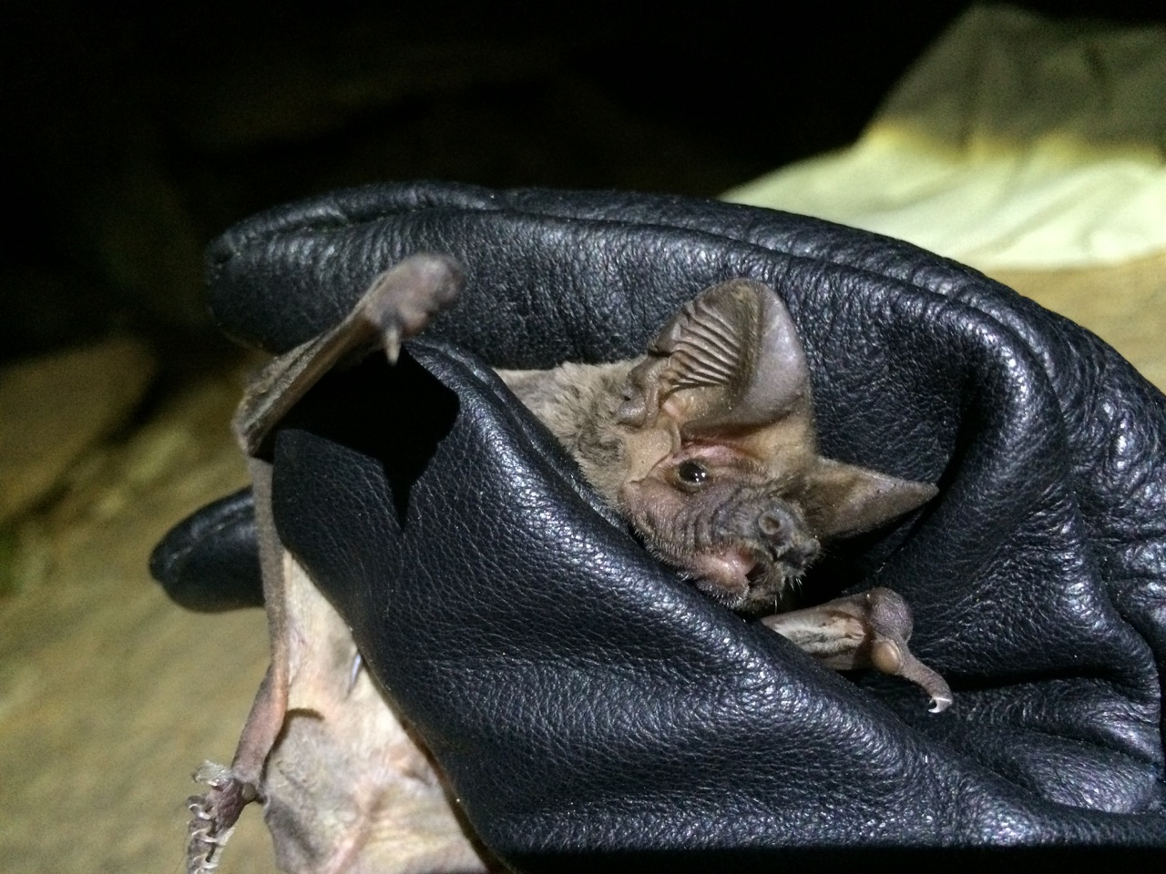 Photo:     BiOME bat researcher examing Egyptian Free-tailed Bat   Tadarida aegyptiaca