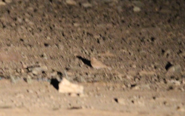 One of only two images we secured of the bird on the ground but enough to be able to see the plain and warm golden-brown colouration, lacking any distinct contrast or markings.