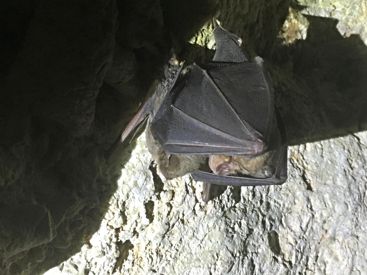 Greater Horseshoe Bat 'shielding' a Schreiber's Bat