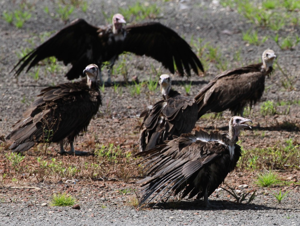 The critically endangered Hooded Vulture was a focal species for our surveys in Guinea