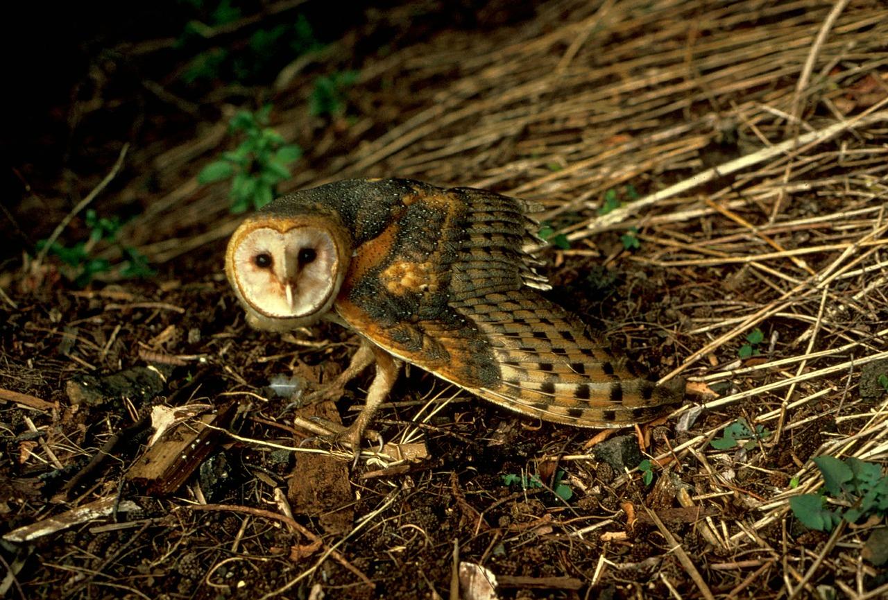barn-owl-541193_1280.jpg