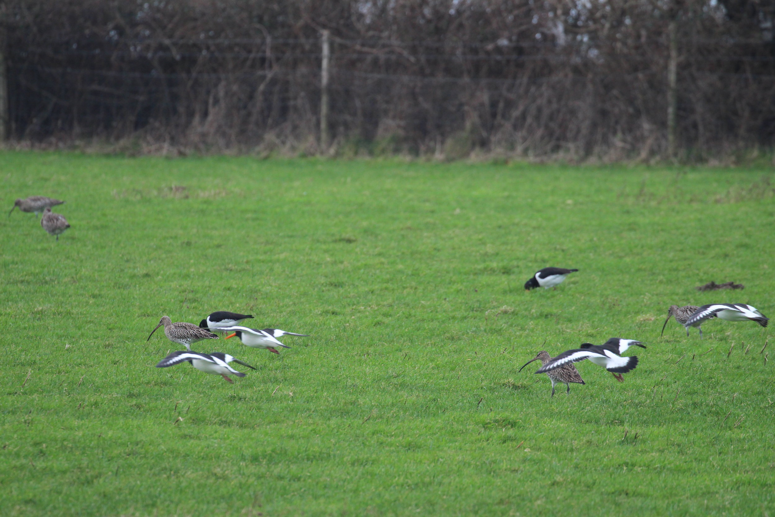 Curlew and Oystercatcher foraging in pasture at high tide