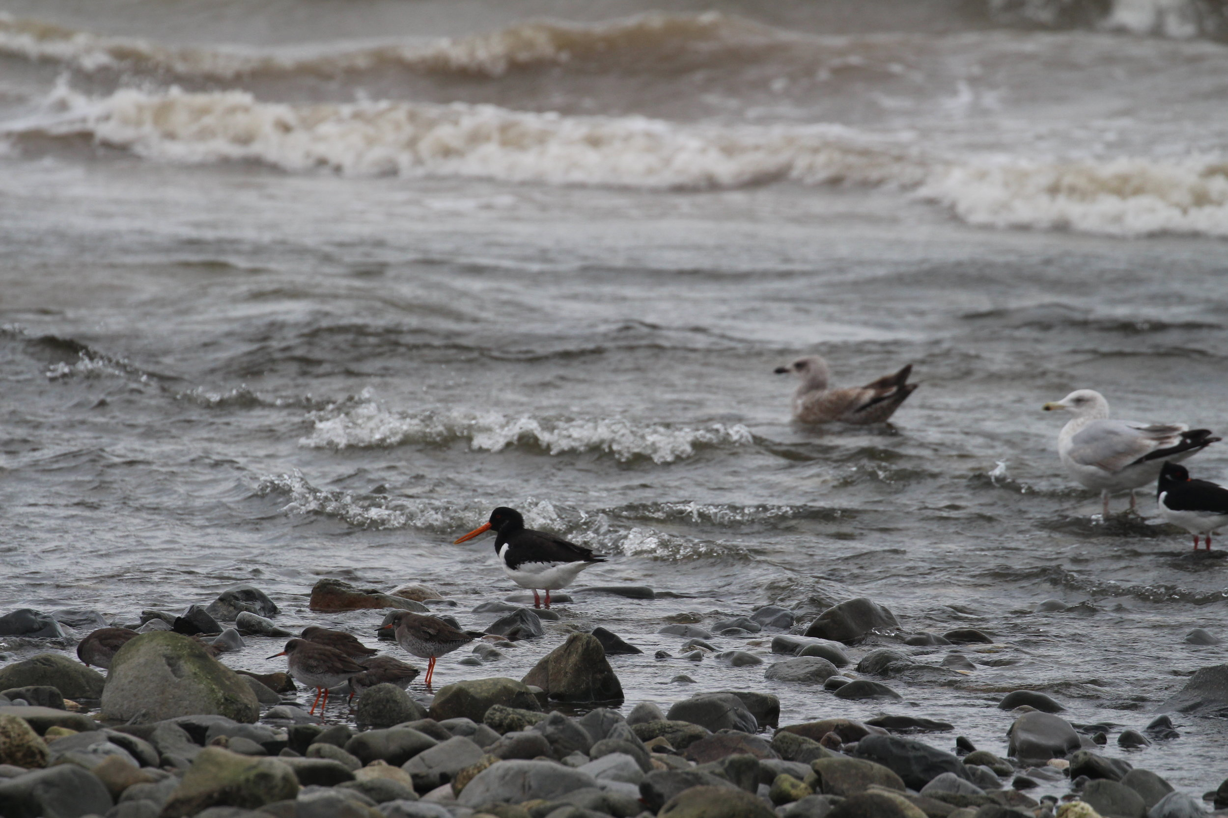Redshank, Oystercatcher and Herring Gulls
