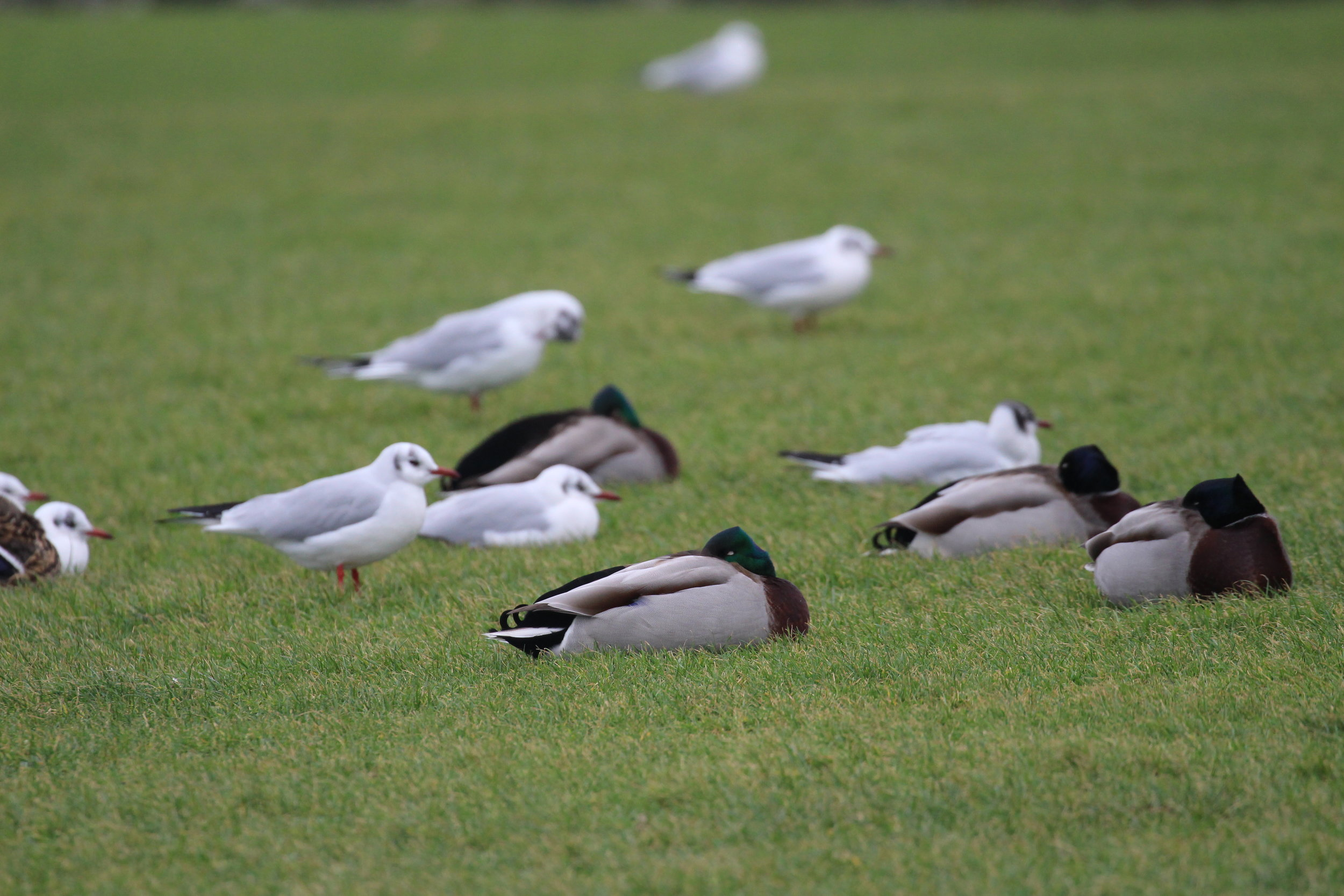 Roosting Black-headed Gulls and Mallards