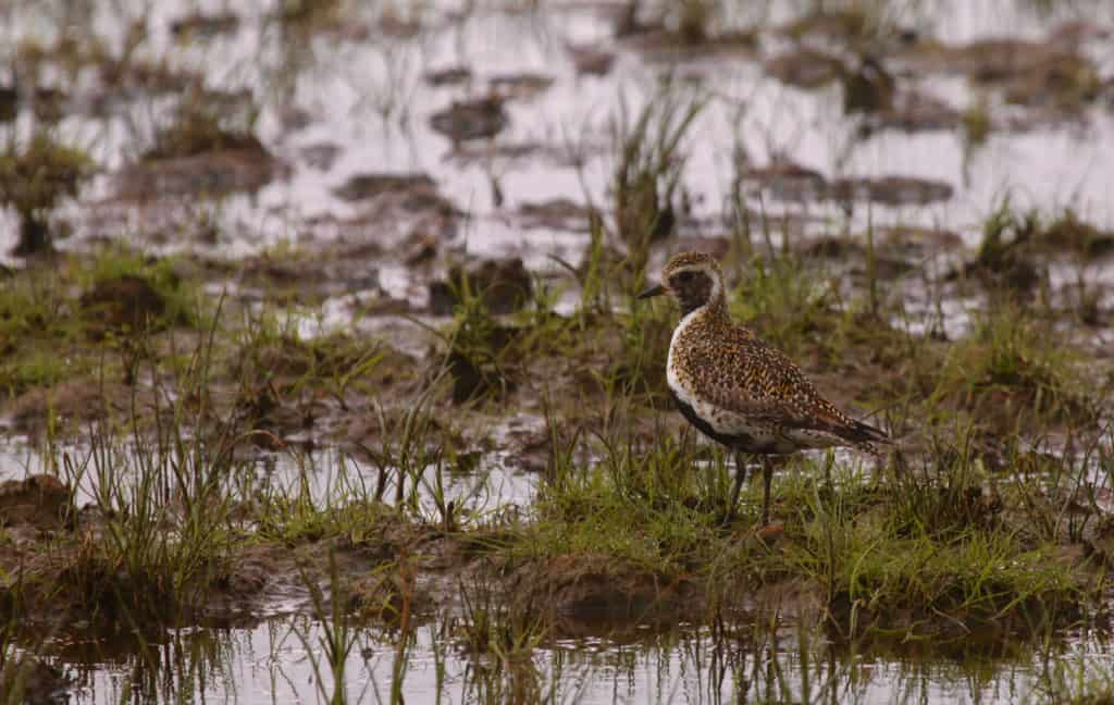 European Golden Plover  Pluvialis apricaria  - Our work at a Scottish site in 2017 included a comprehenisve suite of surveys in relation to this species