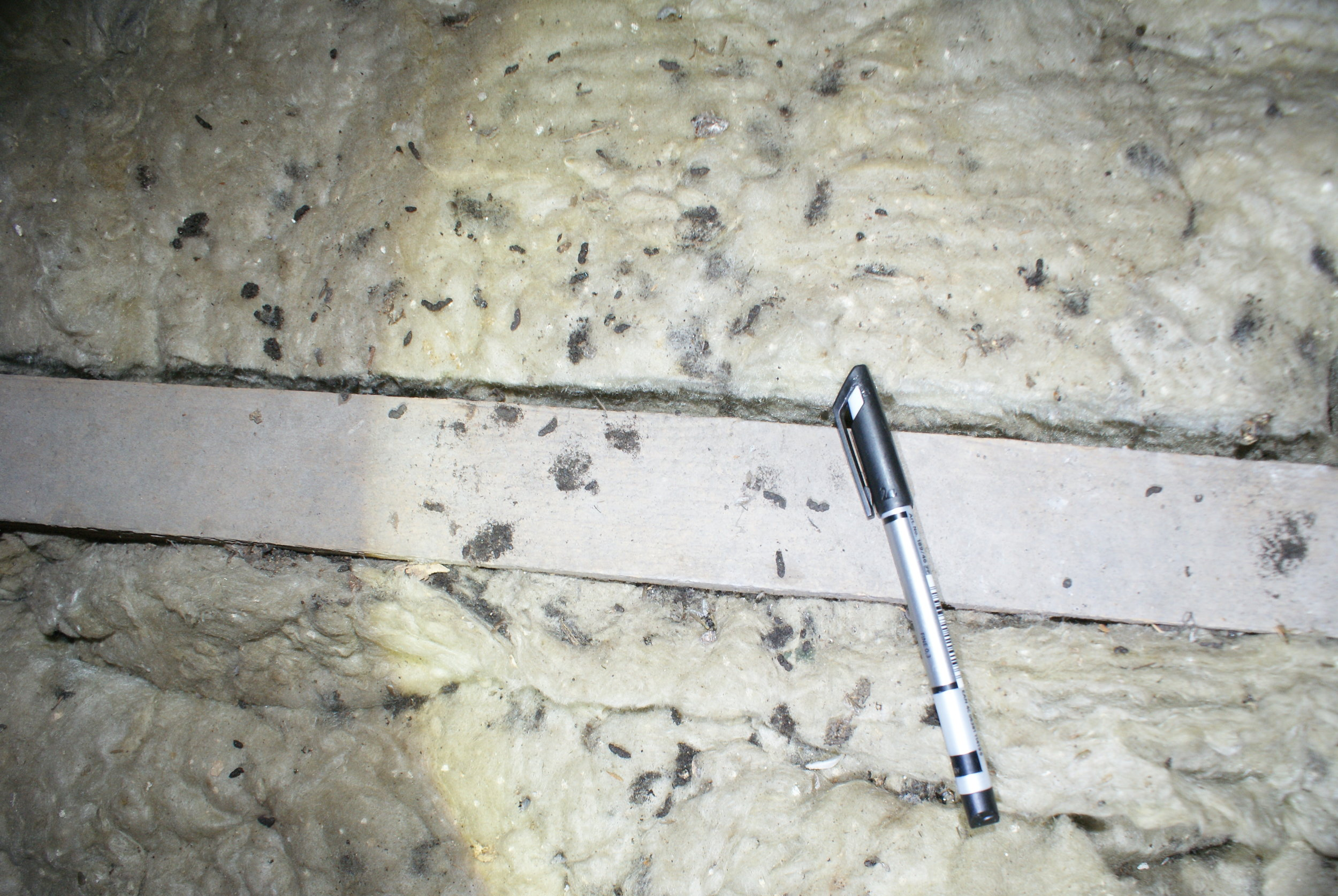 Common Pipistrelle droppings within a roof void
