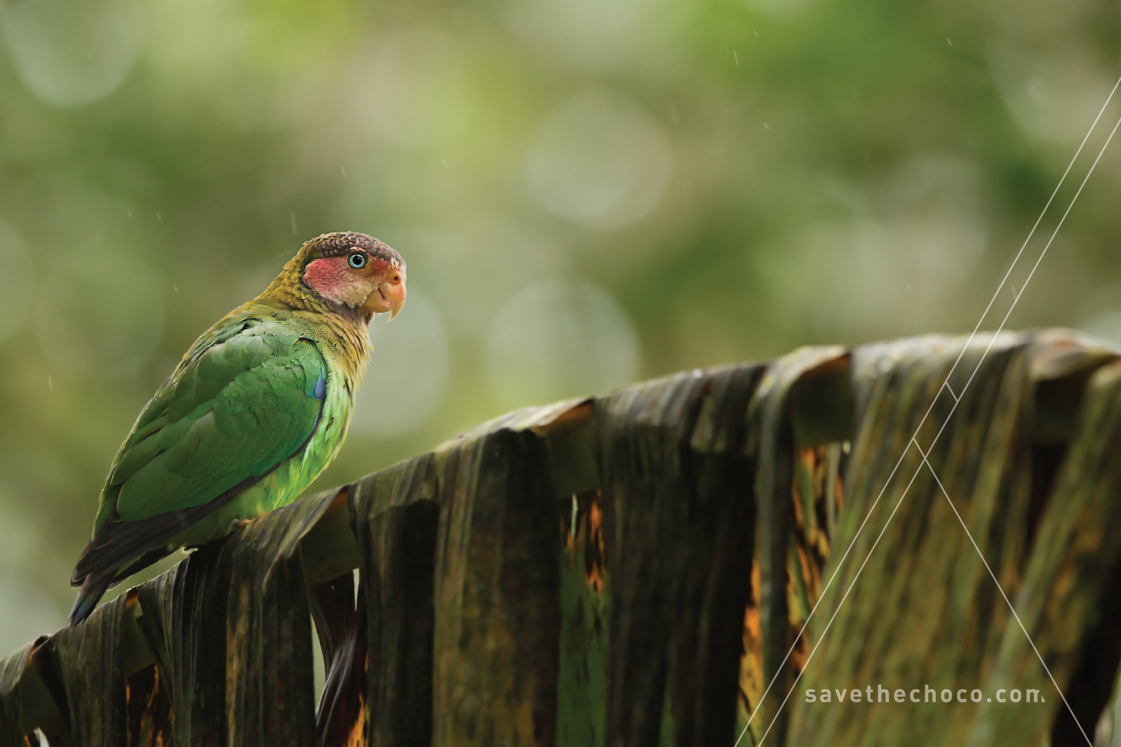 Rose-faced Parrot  ( Pyrilia pulchra )
