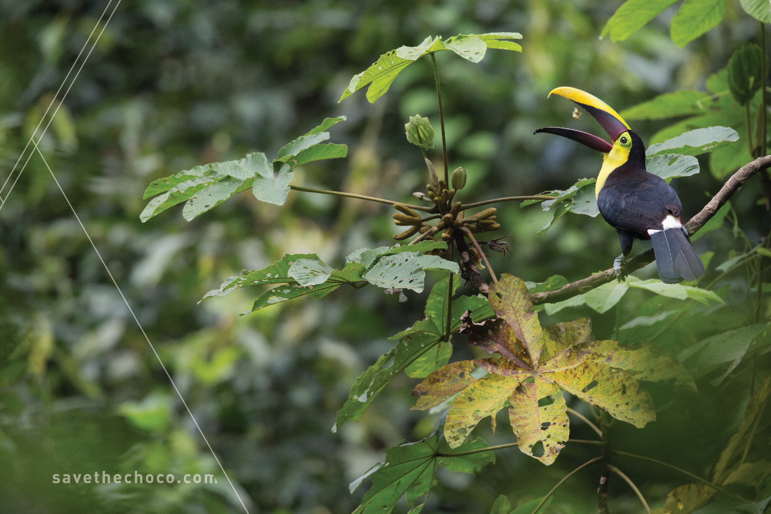 Chestnut-mandibled Toucan  ( Ramphastos swainsonii )