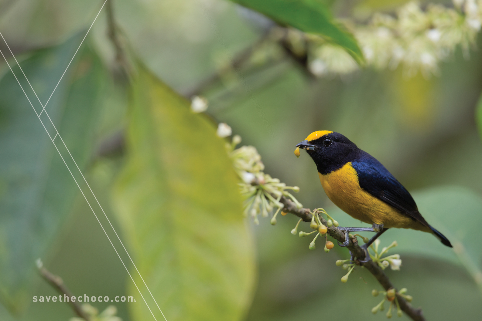 Orange-bellied Euphonia  ( Euphonia xanthogaster )