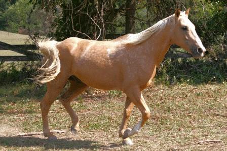 """Nugget""   Palomino Quarter Horse"