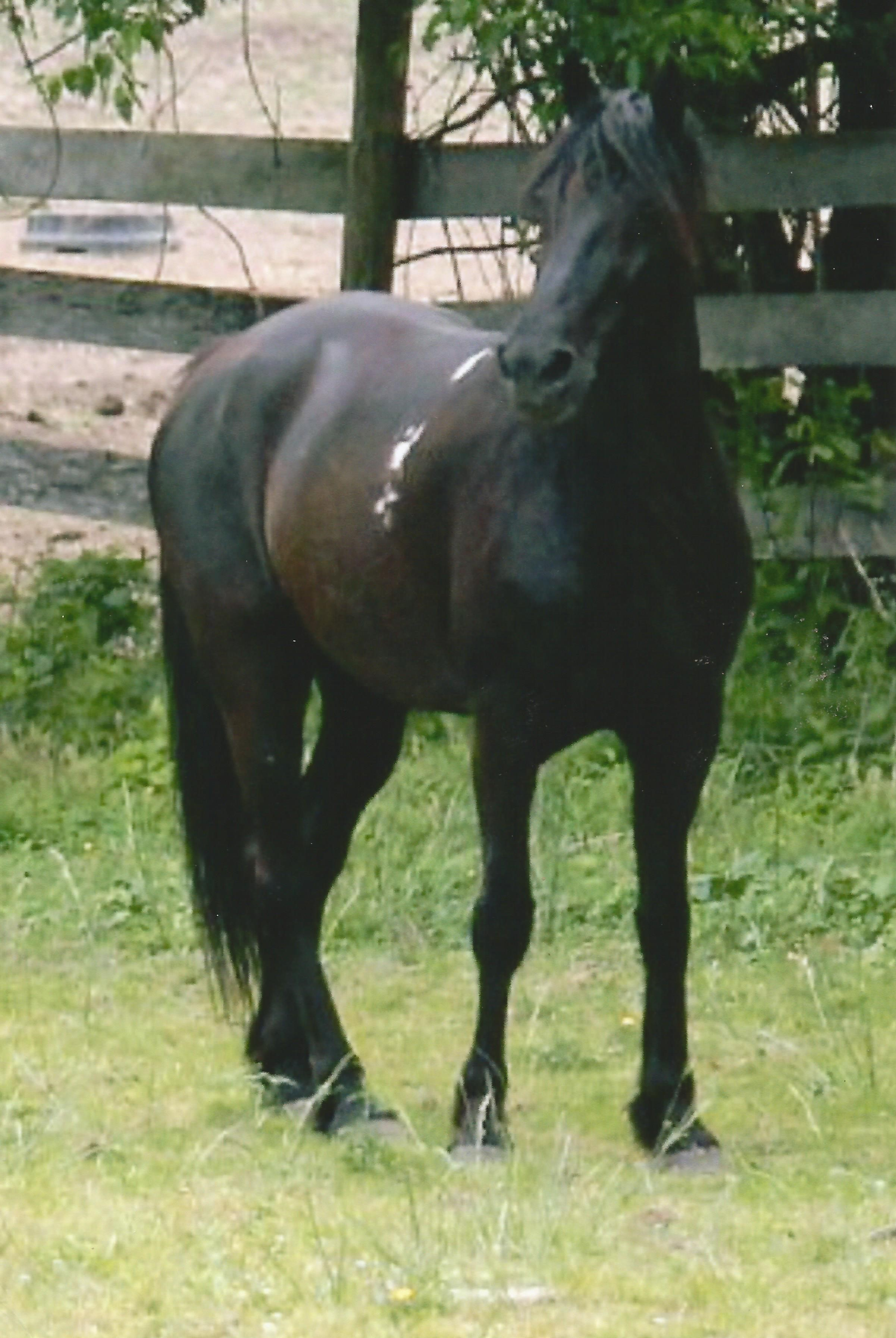 """Mystic""   Tennessee Walker"