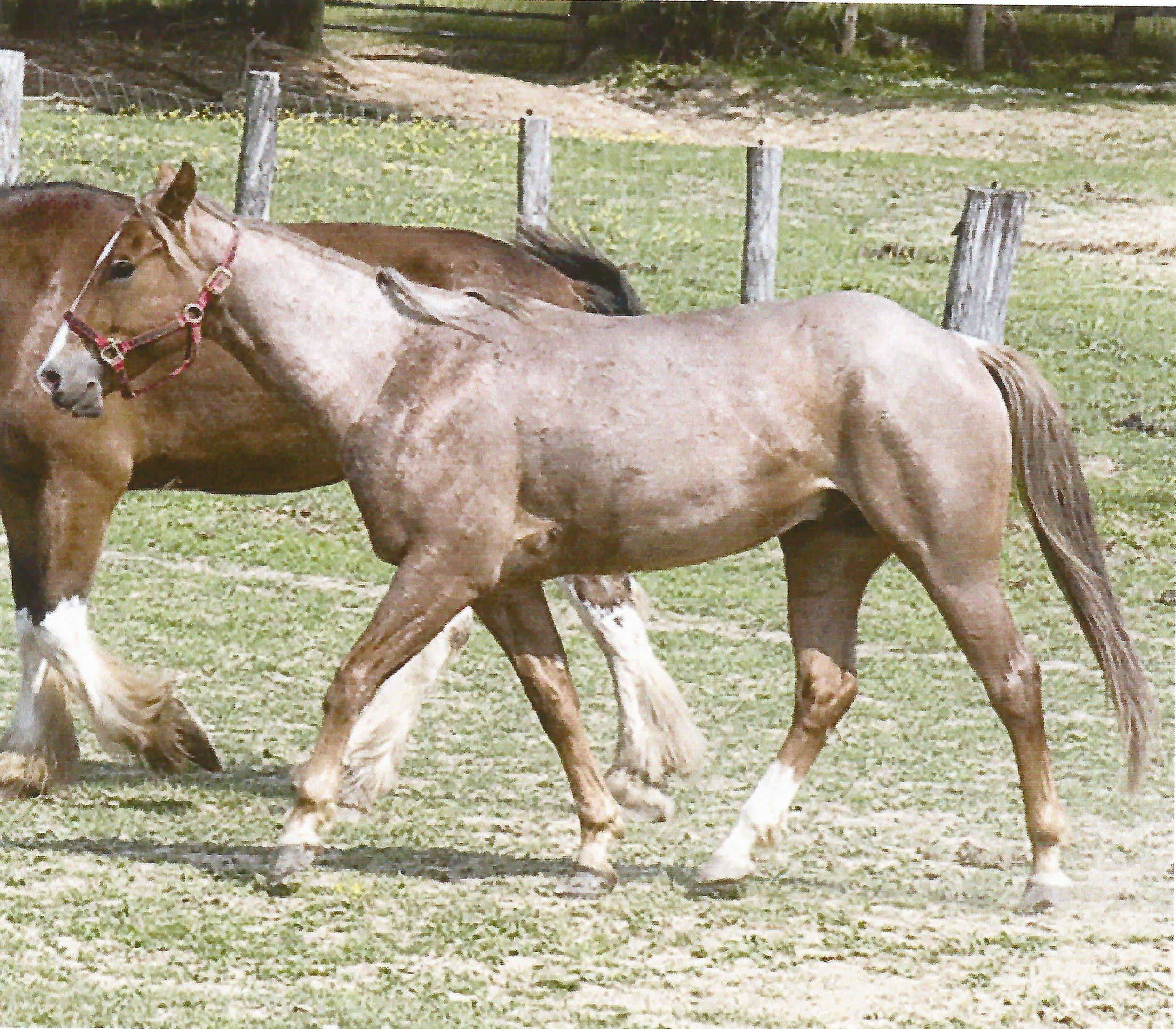 """Rusty""   Quarter Horse"