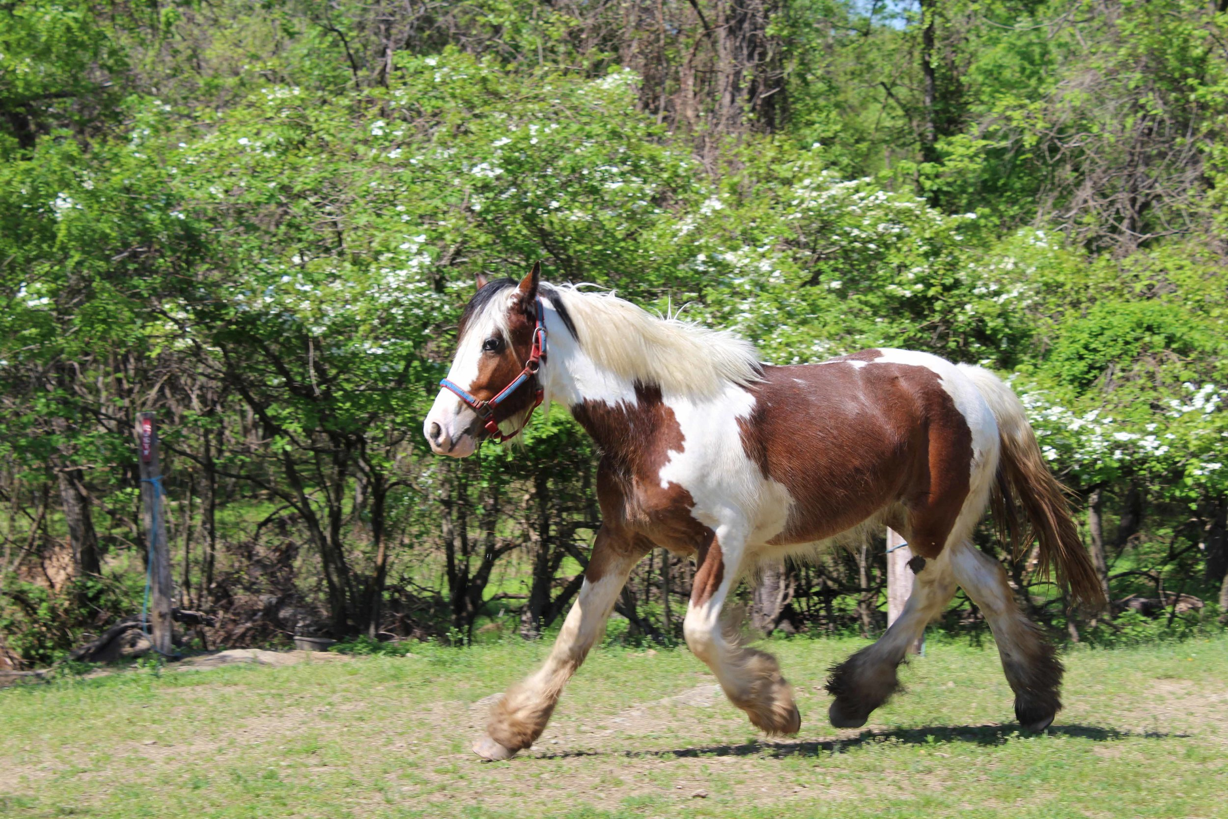 """Olivia""   Shire/Gypsy Vanner (Drum)"