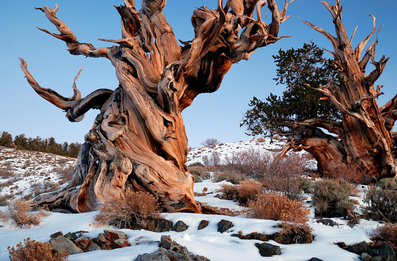 Ancient Bristlecone Pine Forest - Rick Goldwaser