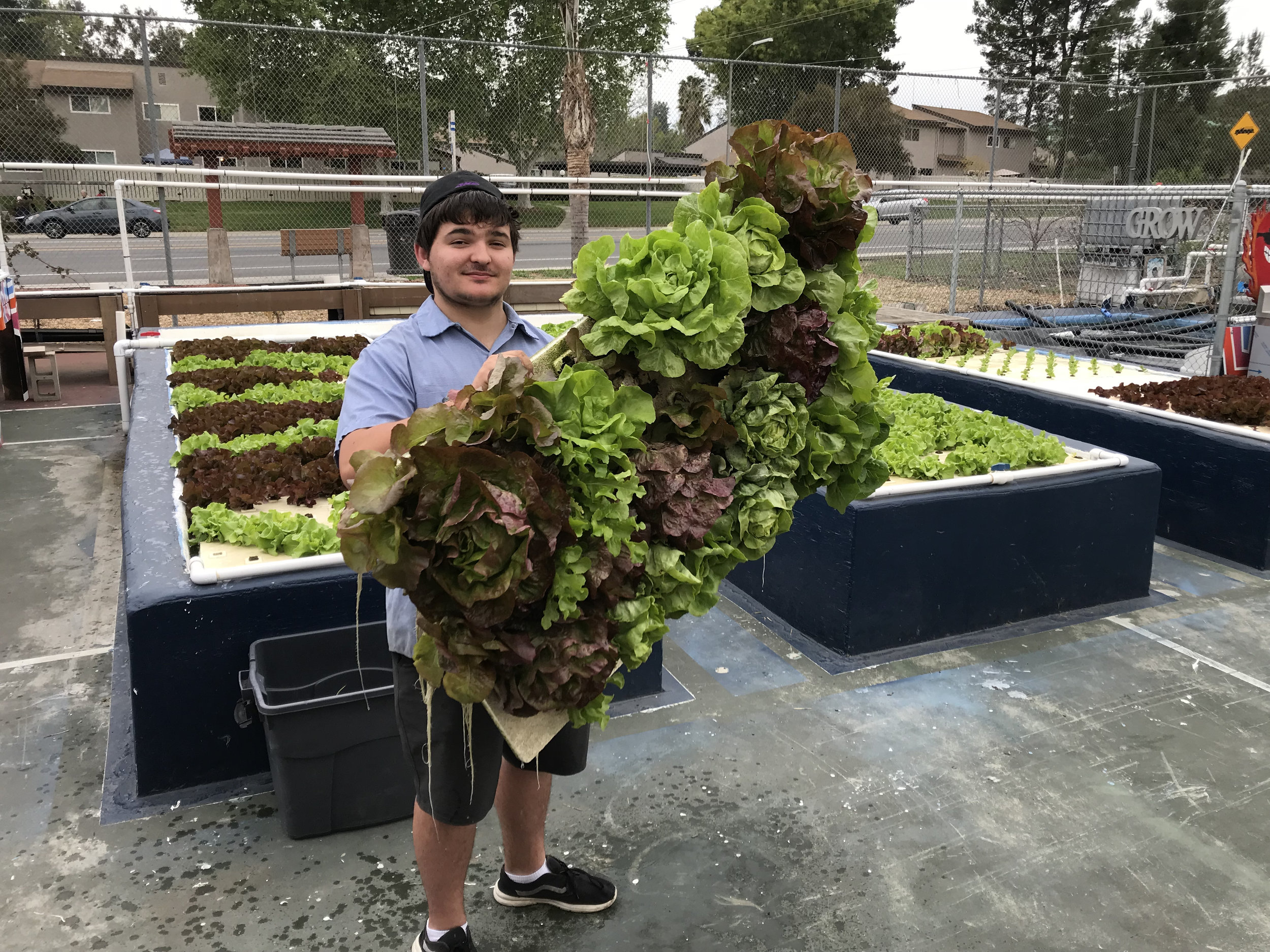 Harvesting massive Red & Green Butterhead Lettuce.