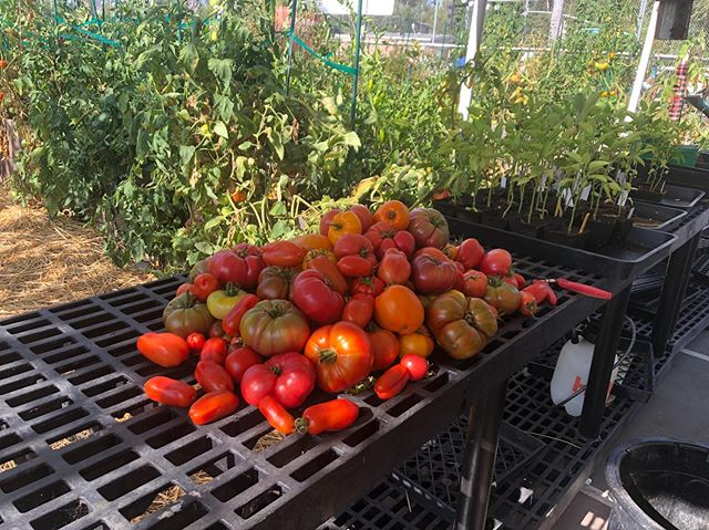 Tomatoes... The King of the summer #AbraxasGarden