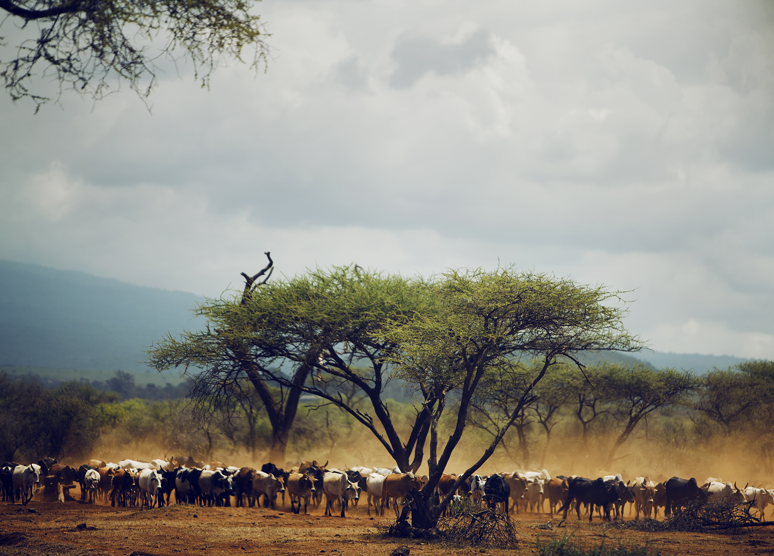 african cattle stampede safari