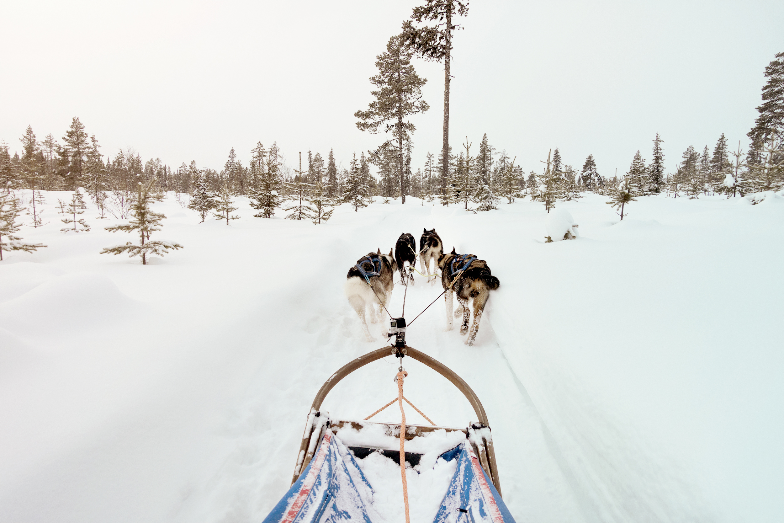 Mushing adventure travel sweden