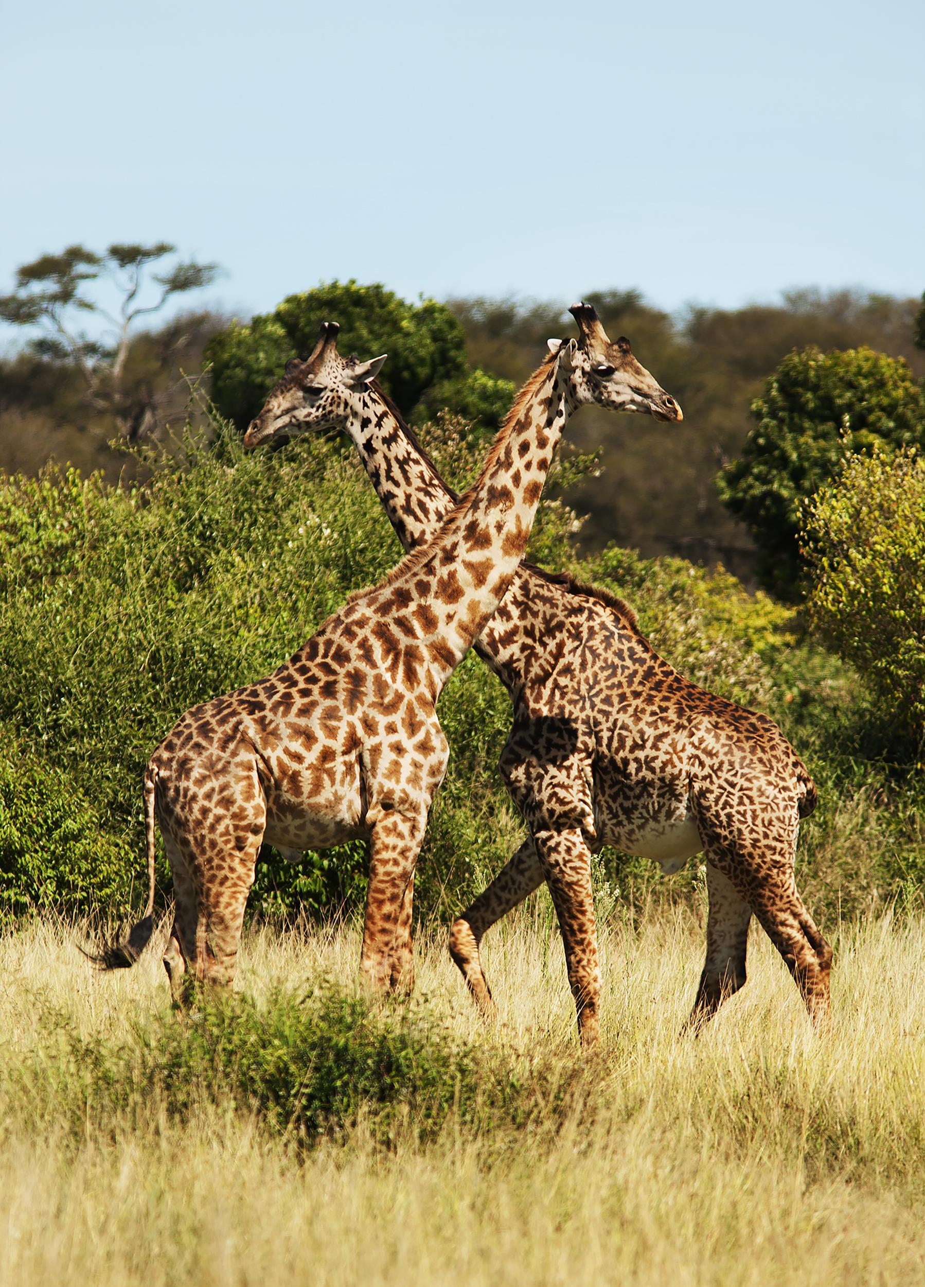 06MasaiGiraffe.jpg