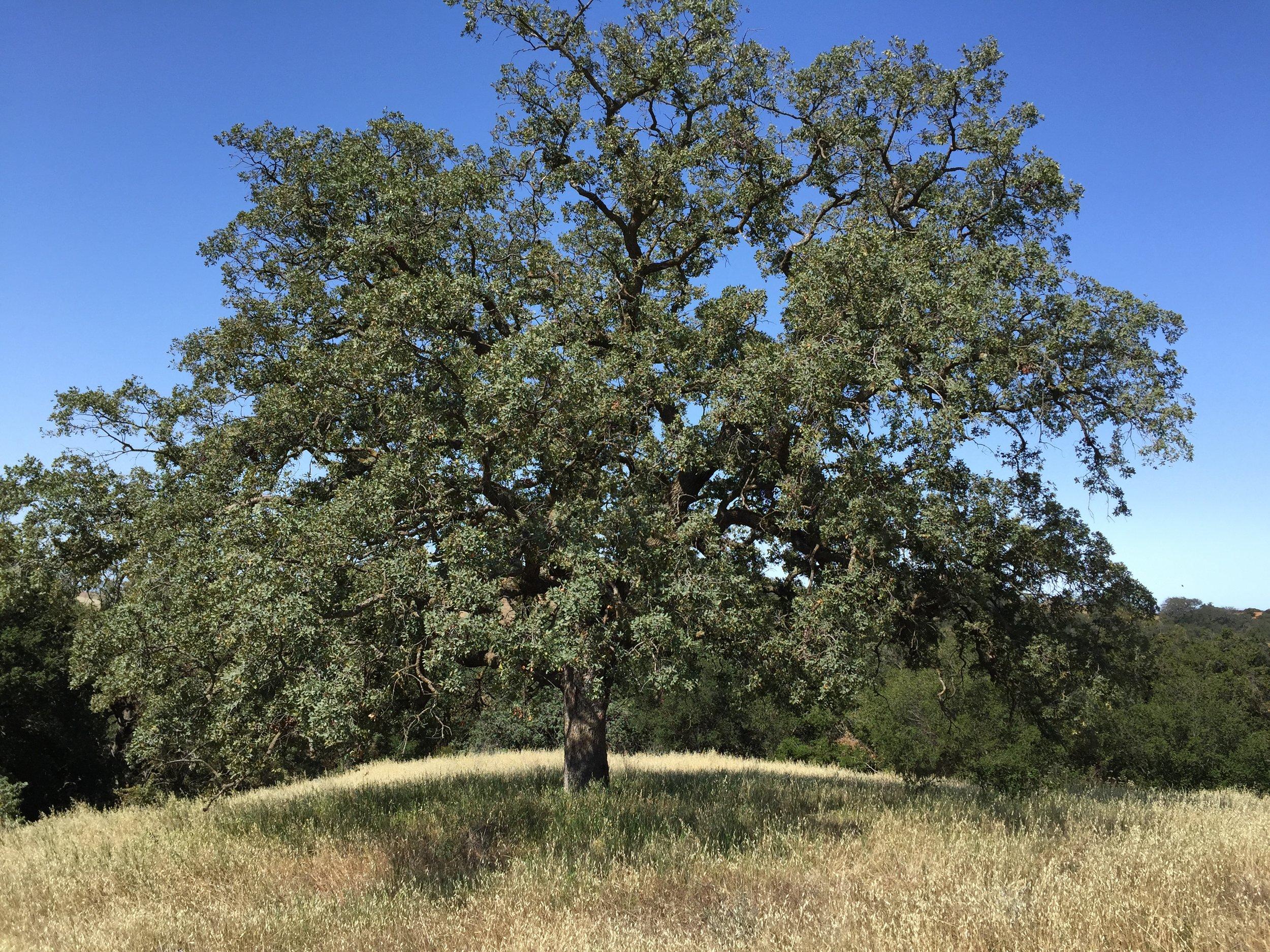 Image of tree in field.