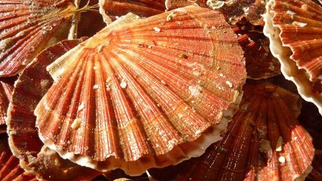 coquilles-st-jacques-2.jpeg