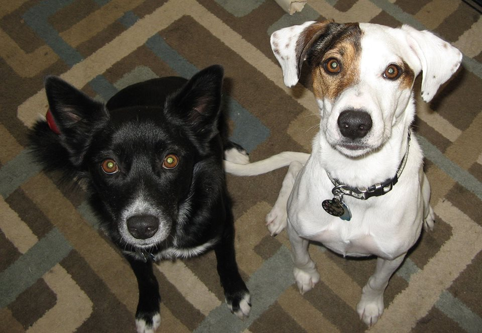 Seamus (R) was my first foster. He had one meeting and was passed up. I was miffed on his behalf and decided he just needed to stay with me forever. LOL! Maxwell (L) had been shuffled around to various places, including two animal shelters, a vet tech program, adopted/returned. I couldn't stand to see him be passed around any more, and made him a permanent part of my family.