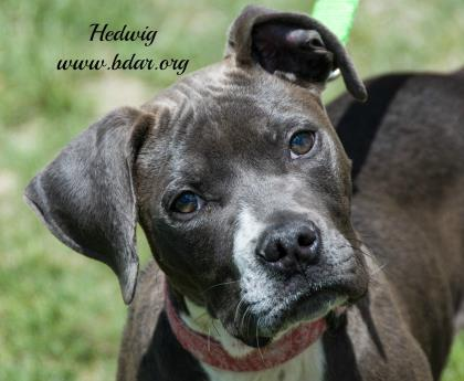 Adorable puppies like  Hedwig  here are at the age when socialization is crucial.