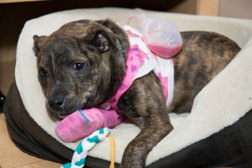 """Angel sports her """"jet pack"""" as we came to call it. Despite all of the bandaging, she was able to move around and play very well during this time."""
