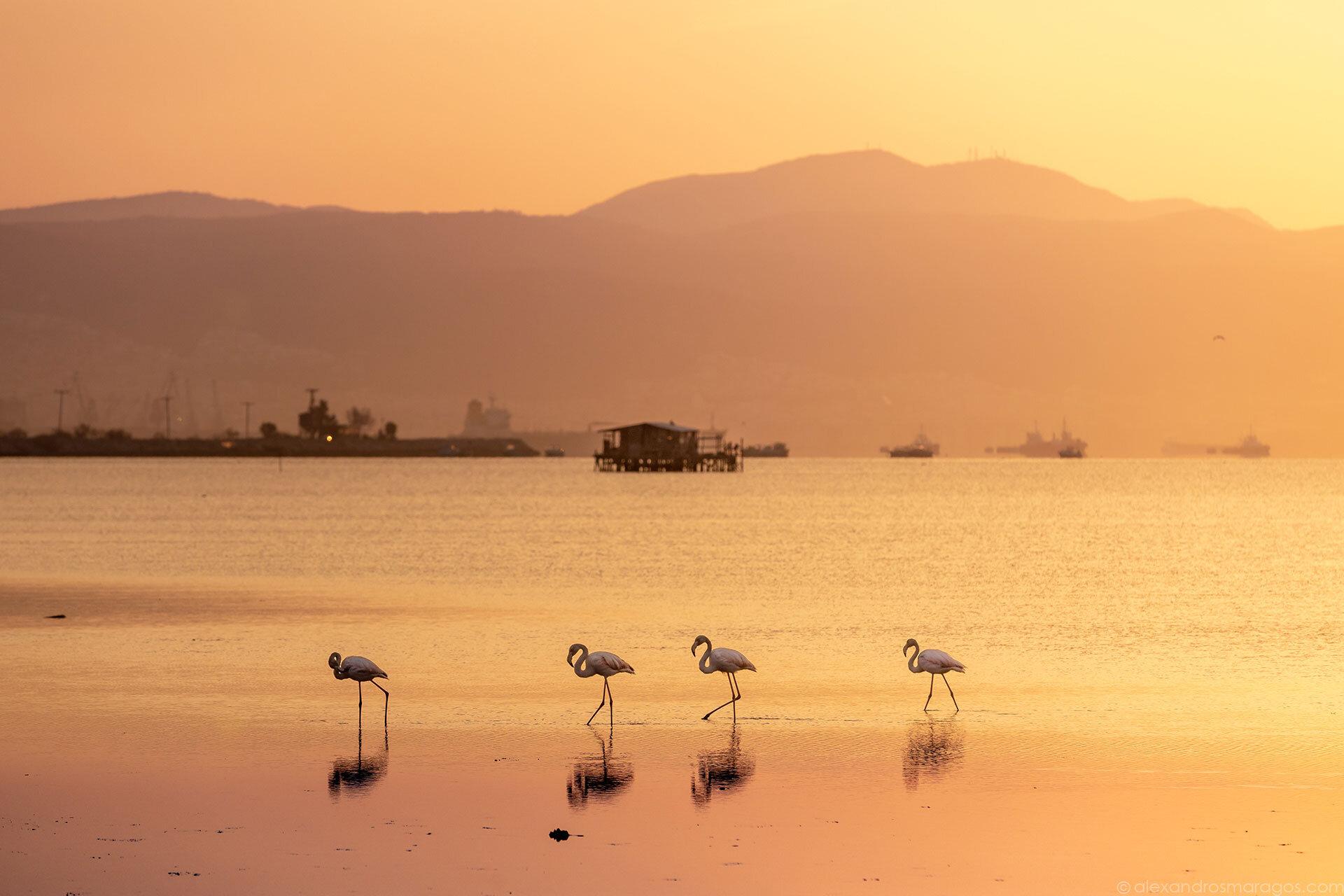 Flamingos at Sunrise, Thessaloniki, Greece