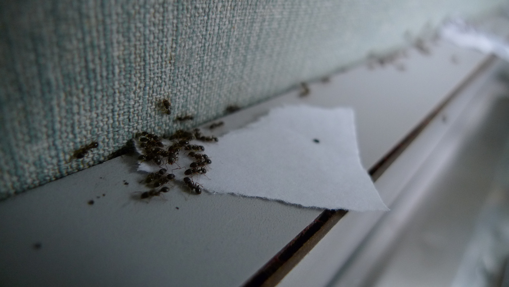 Thirteen of Clubs /Creative Commons  [Image Description: A photograph of ants on a ledge swarming together at an edge of a paper towel.]