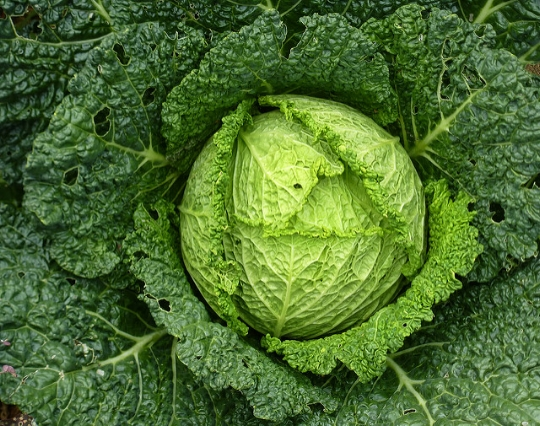 liz west / Creative Commons  [Image description: photograph of a large, open savoy cabbage, viewed from above. The leaves are lighter towards the centre, and darker towards the outer edges of the image.]