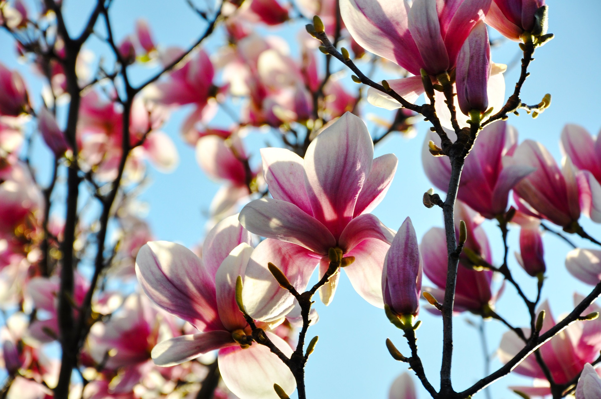 Public domain. [Photo description: branches of a magnolia tree covered in pink blossoms.]