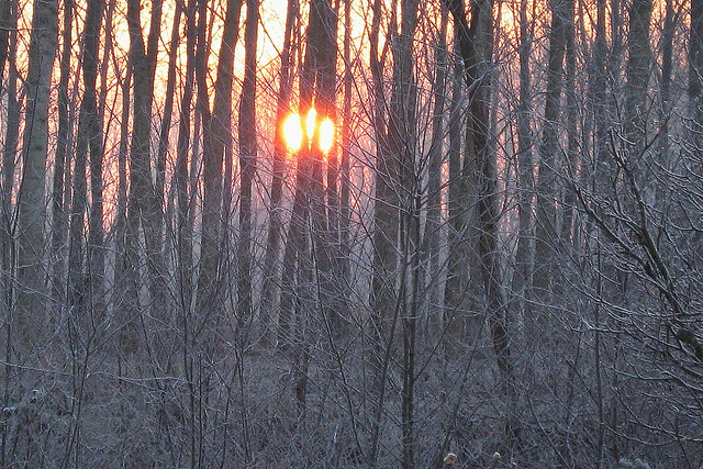 [Image description: photograph of sunset in a thick forest. The sun is a bright orb amongst the bare, frost-covered branches and twigs.]      Giuseppe Calsamiglia  / Creative Commons