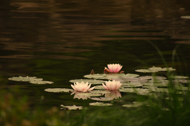 [Image description: photograph of three pink waterlilies floating on a river. They are surrounded by lilypads, bright and pale against the dark of the water.]   Dagny Mol / Creative Commons