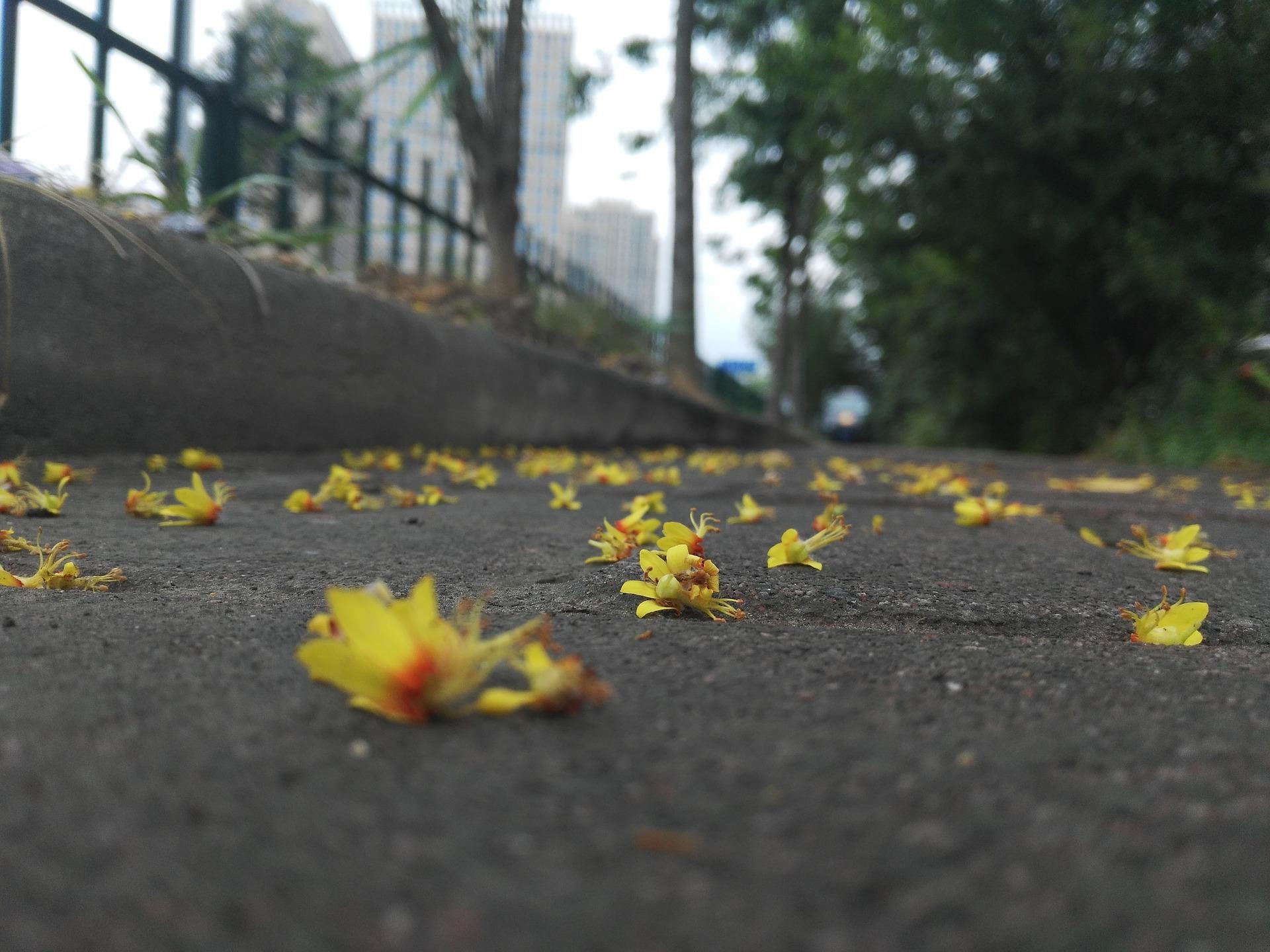 Public Domain. [Photo description: fallen flowers litter the ground of an empty, tree-lined street.]