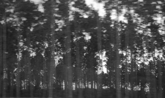[Image description:blurred black and white photograph of a forest of thin trees with thick, dark leaves. The trees along the horizon are more defined than those closer to the foreground of the image.]   Hunter McGinnis / Creative Commons