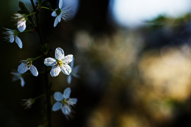 [Image description: close photograph of pale blossoms on the branch of a tree. The flowers are on the left side of the image, and the background to the right is blurred.]  Nana B. Agyei / Creative Commons