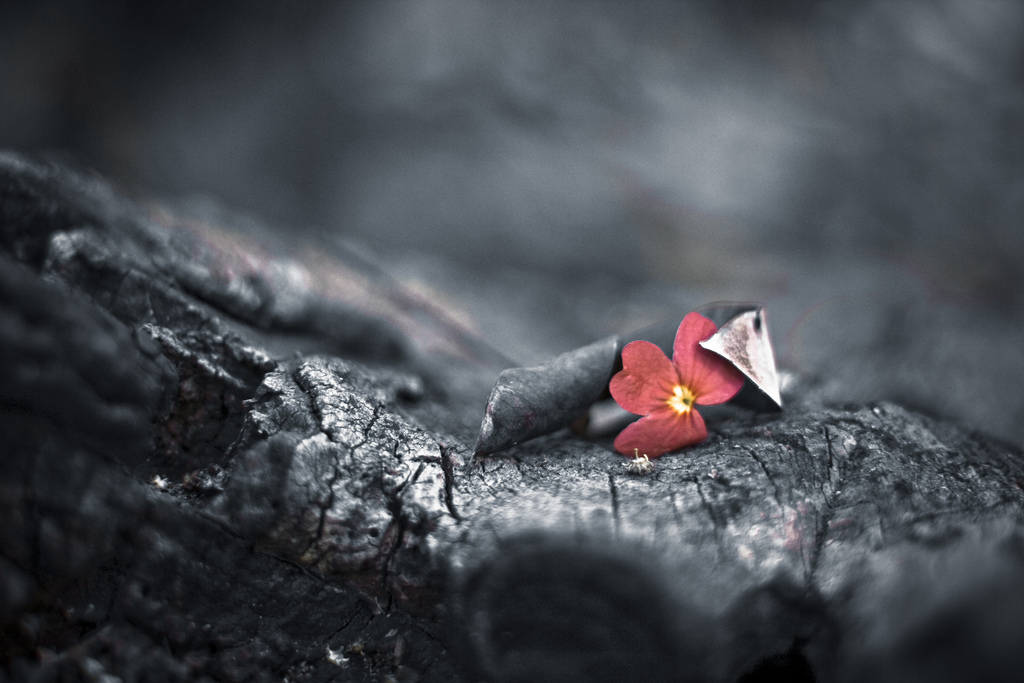 [Image description: photograph of a bright red flower blooming on a charred tree.]  Nishanth Jois / Creative Commons
