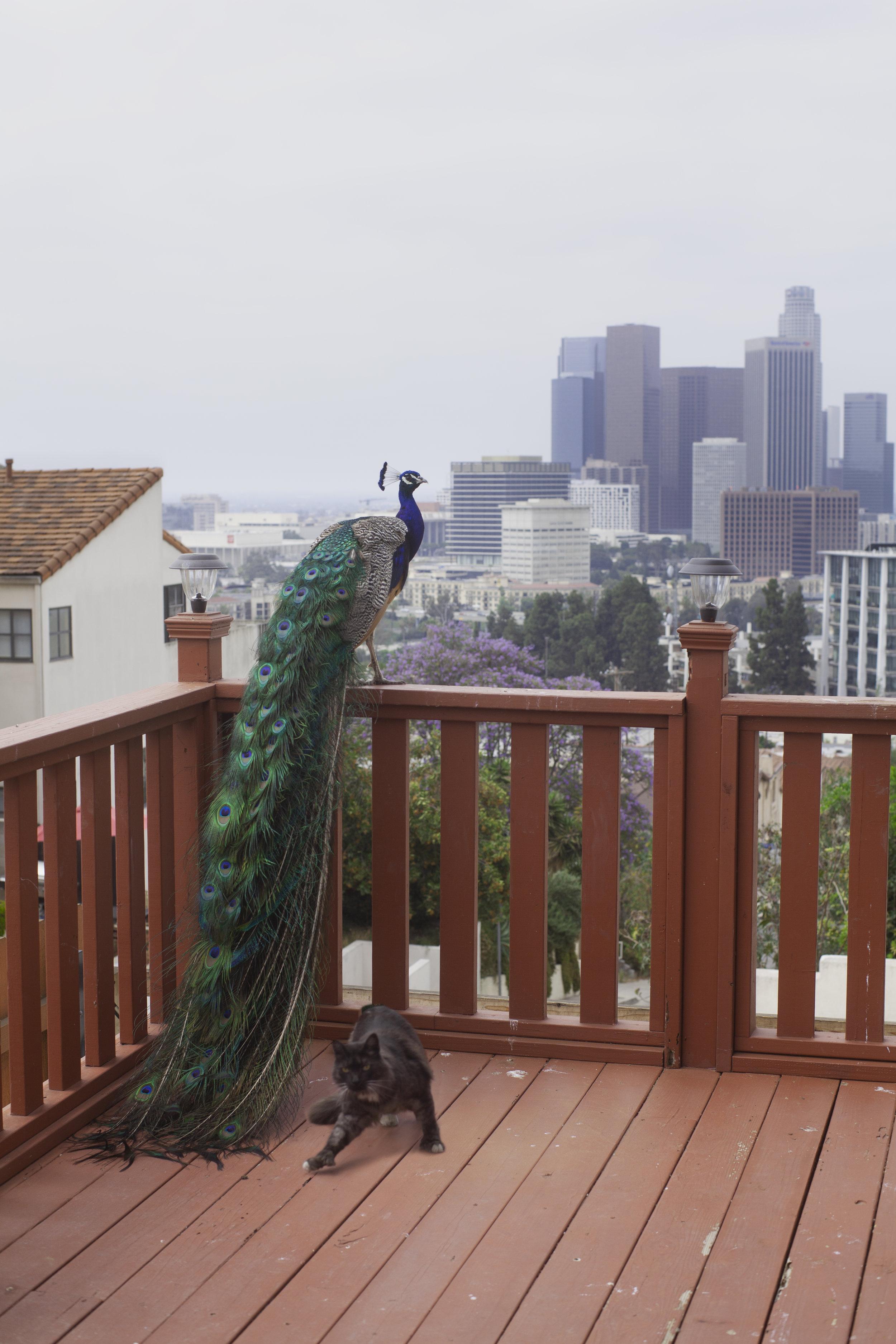 Peacock&Cat.JPG