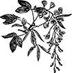 flowerlaburnum.jpg