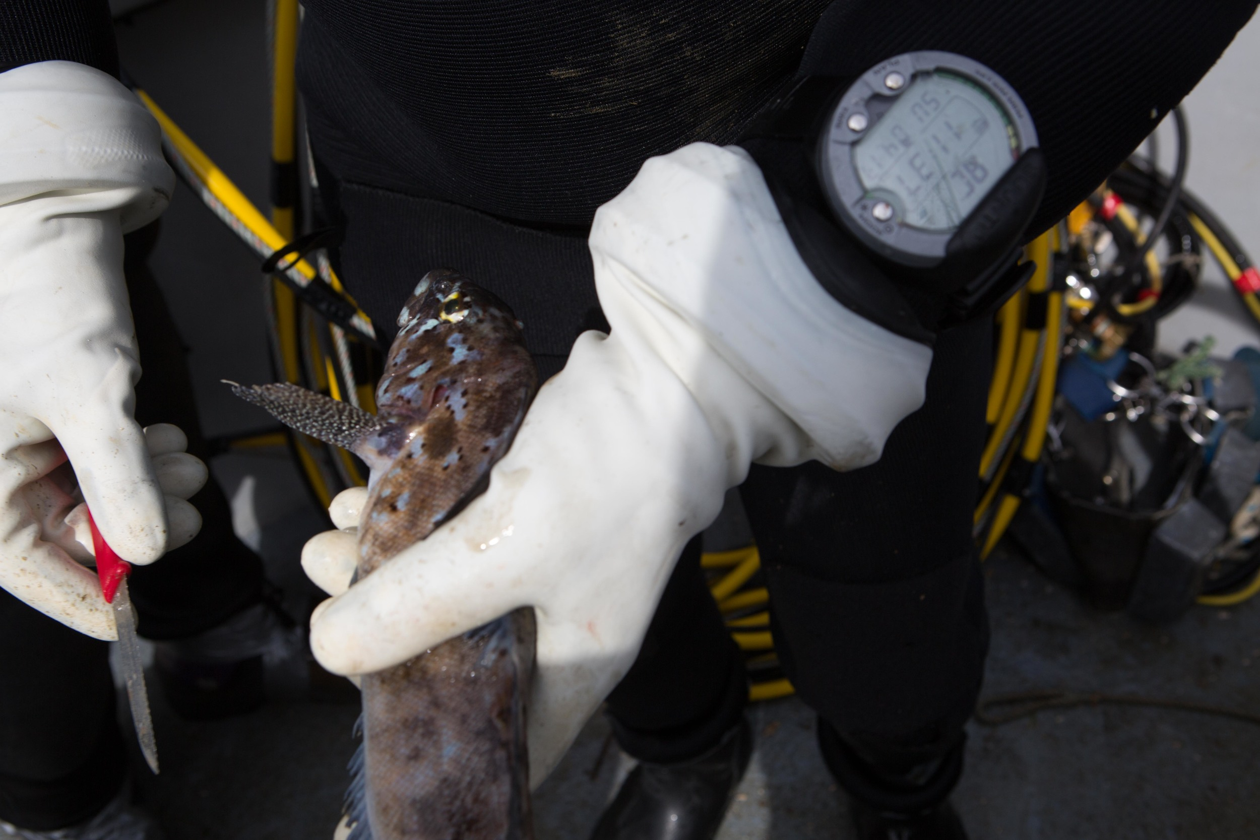 Freeing an entangled kelp greenling