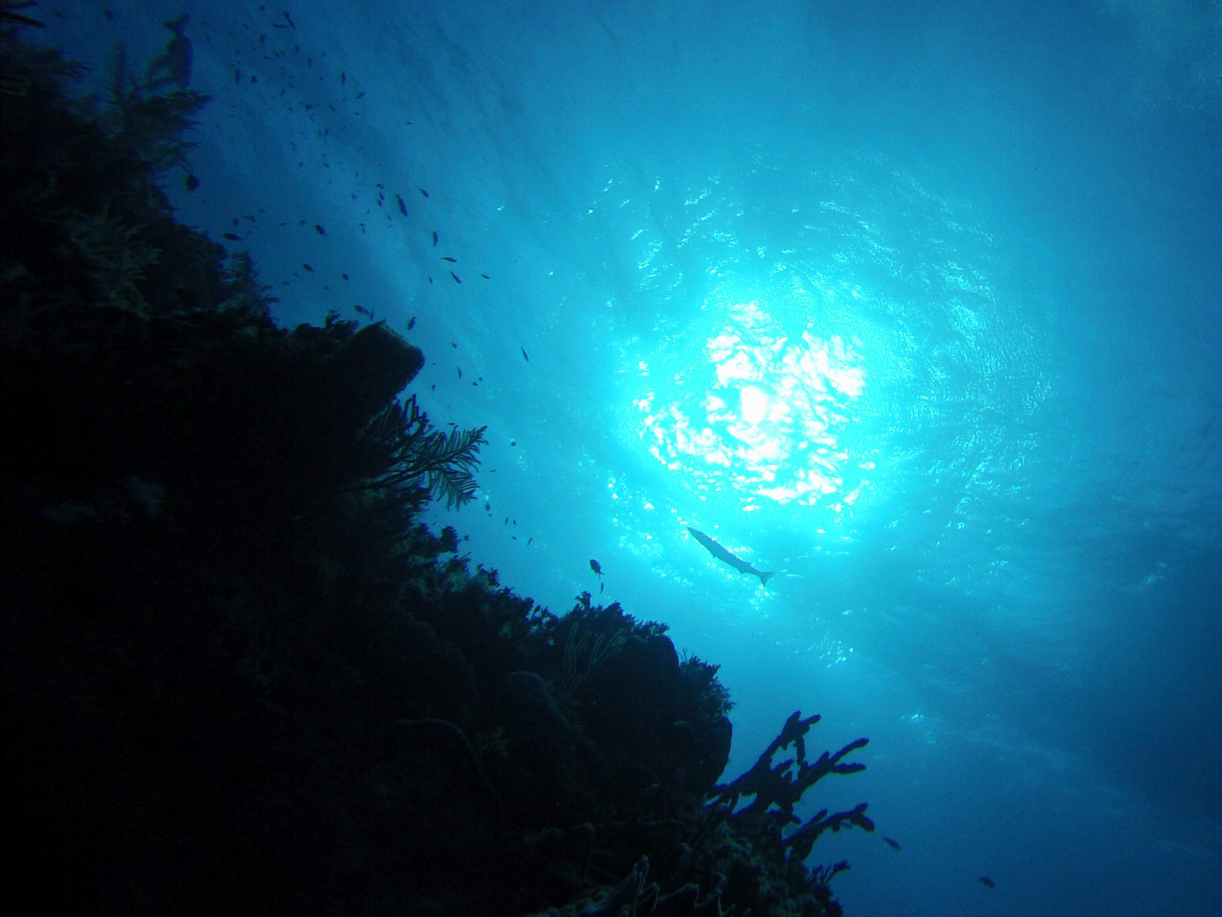 barracuda  (GoPro Hero3,New England Aquarium Fall Collecting Trip; Bimini, Bahamas 2015)