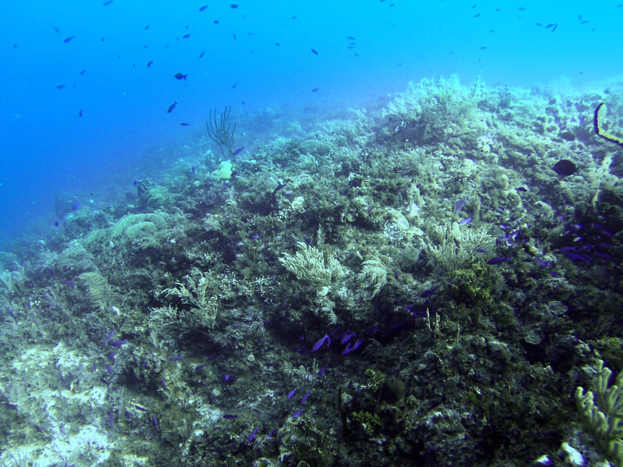 some creole wrasses   (GoPro Hero3,New England Aquarium Fall Collecting Trip; Bimini, Bahamas 2015)